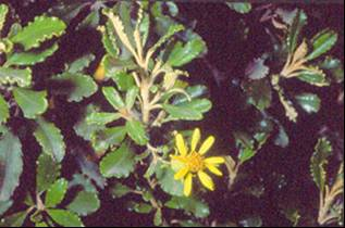Off the mapp spray point station native plant species report yellow flowered shrub daisy brachyglottis monroi mightylinksfo
